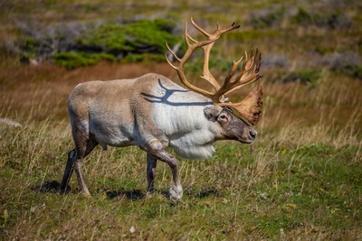 Photo credit: Garry Donaldson Woodland Caribou in nature (CNW Group/Environment and Climate Change Canada)